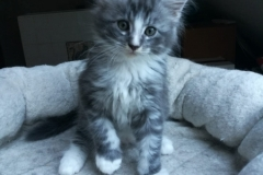 Gomez_blue silver classic tabby white