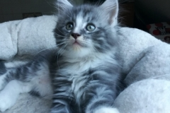 Gomez_blue silver classic tabby white01