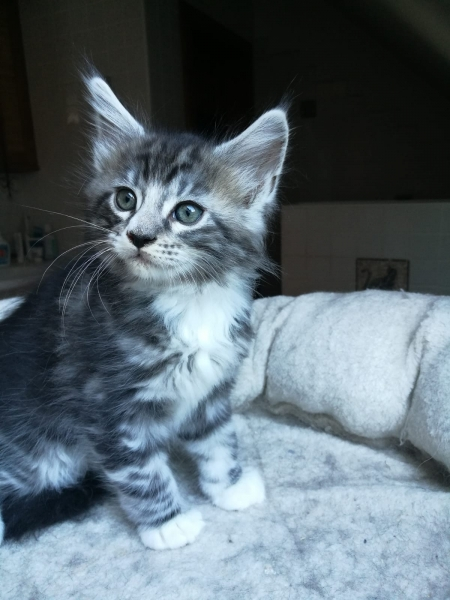 Guiseppe_black silver classic tabby white01