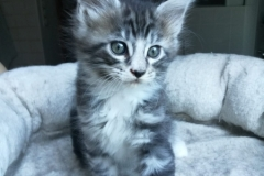 Guiseppe_black silver classic tabby white