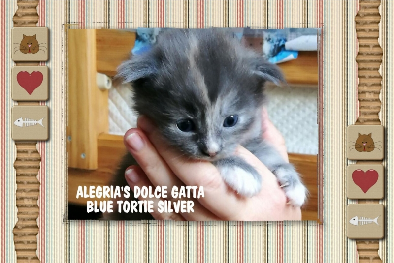 DOLCE GATTO ♀ – BLUE TORTIE SILVER