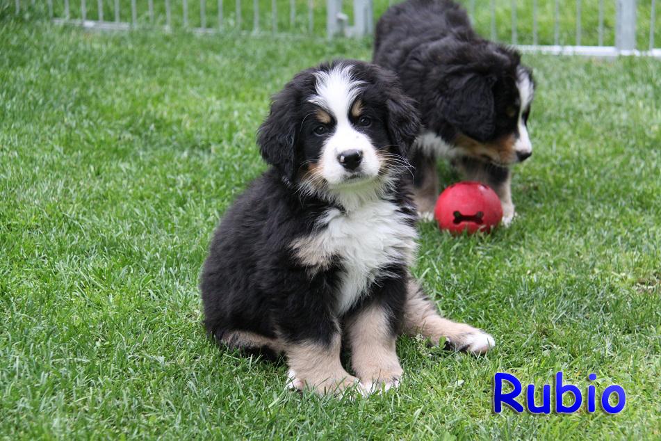 Rubio 8 W