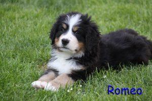 Romeo 7 Wochen
